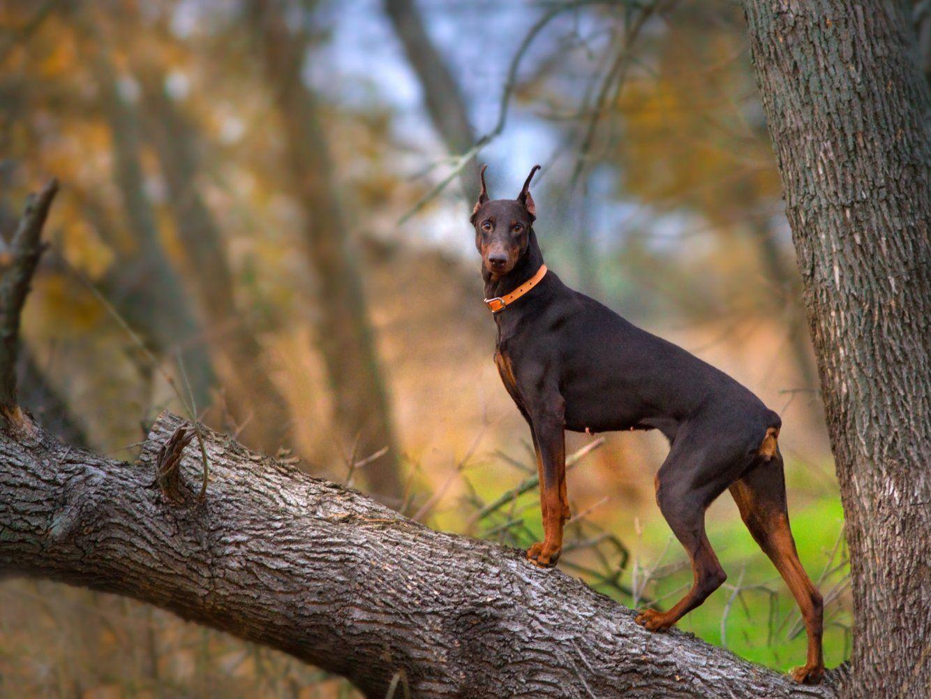 The most popular dog in every state Doberman, Doberman