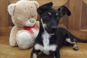 Gigi is an adoptable Chihuahua Dog in La Verkin, UT. Gigi is a sweet baby. At 4 months old she loves to play but needs a playmate. She will bring joy to your life if you give her the chance. Once you ...