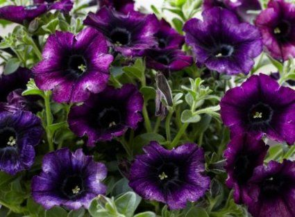 Petunia Seeds Crazytunia Twilight Purple Petunia Flower 30 Seeds