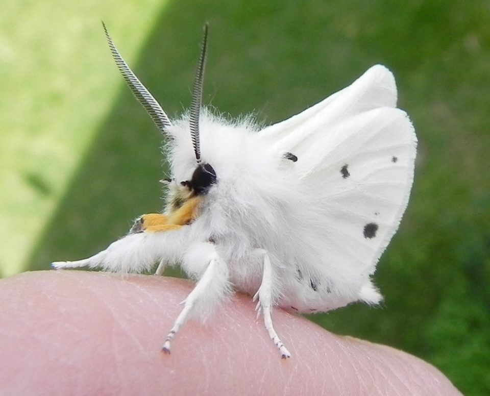 Very cool poodle moth
