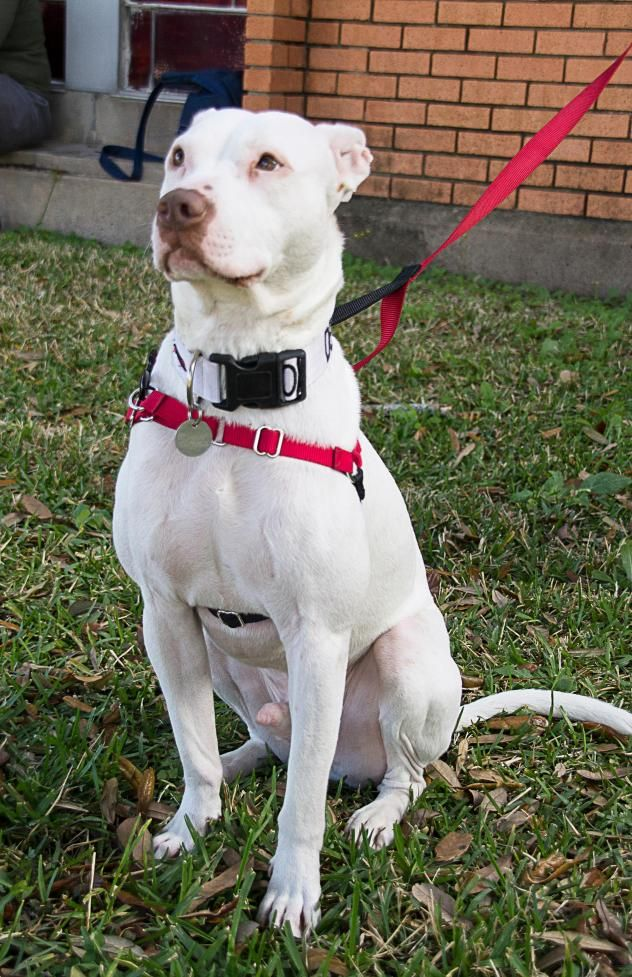 Special Needs Deaf Mickey Is A 3yr Old Male American Bulldog American Staffordshire Terrier He Is Available At Red Bulldog Bulldog Pics Australian Bulldog
