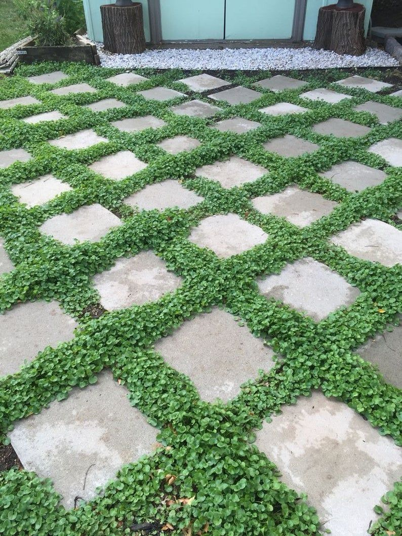 Dichondra repens Ground Cover 8g seeds Etsy in 2020