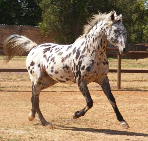 Maluti Toby's Many Moons - Stallion Directory