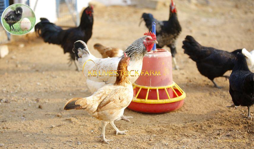 Pin On Kb Desi Chicks Kbdc
