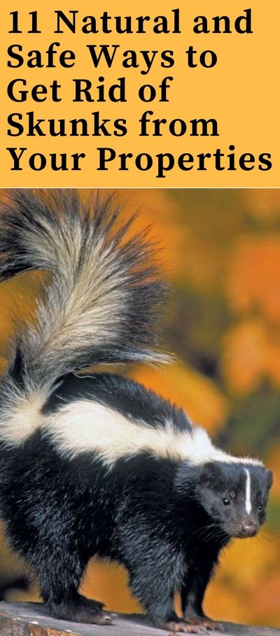How To Get Rid Of Skunks Fast From Garden And Yard Best Repellent For Keep Away Skunks How To Repel Pests Getting Rid Of Skunks Skunk Repellent Skunk