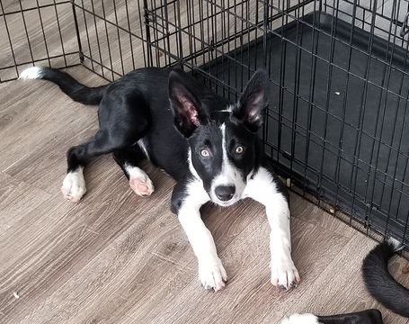 Litter Of 2 Border Collie Puppies For Sale In Groveland Fl Adn