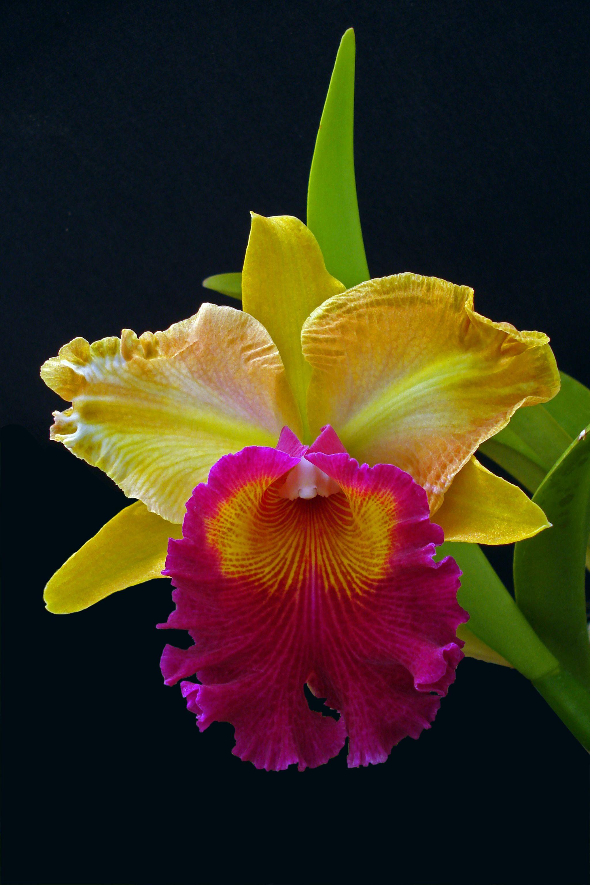 Cattleya Men Ong Wei Mo Orchids Florecuador Ecuador Ecuagenera Orchids Unusual Flowers Cattleya Orchid