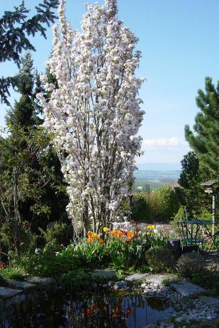 Prunus Serrulata Amanogawa Google Zoeken Cottage Garden Plants Garden Trees Landscape Trees