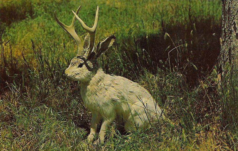 jackalope the fabulous jackalope of north america