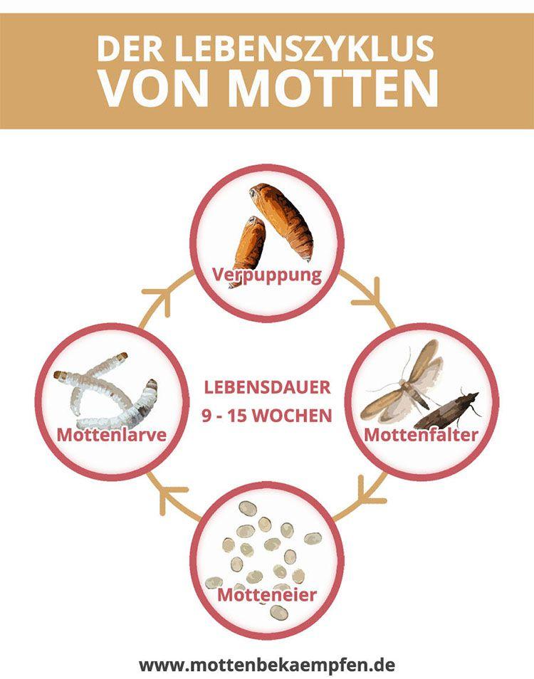 Perfect Der Lebenszyklus von Motten Um Motten zu bek mpfen ist es unerl sslich den Lebenzyklus von Motten