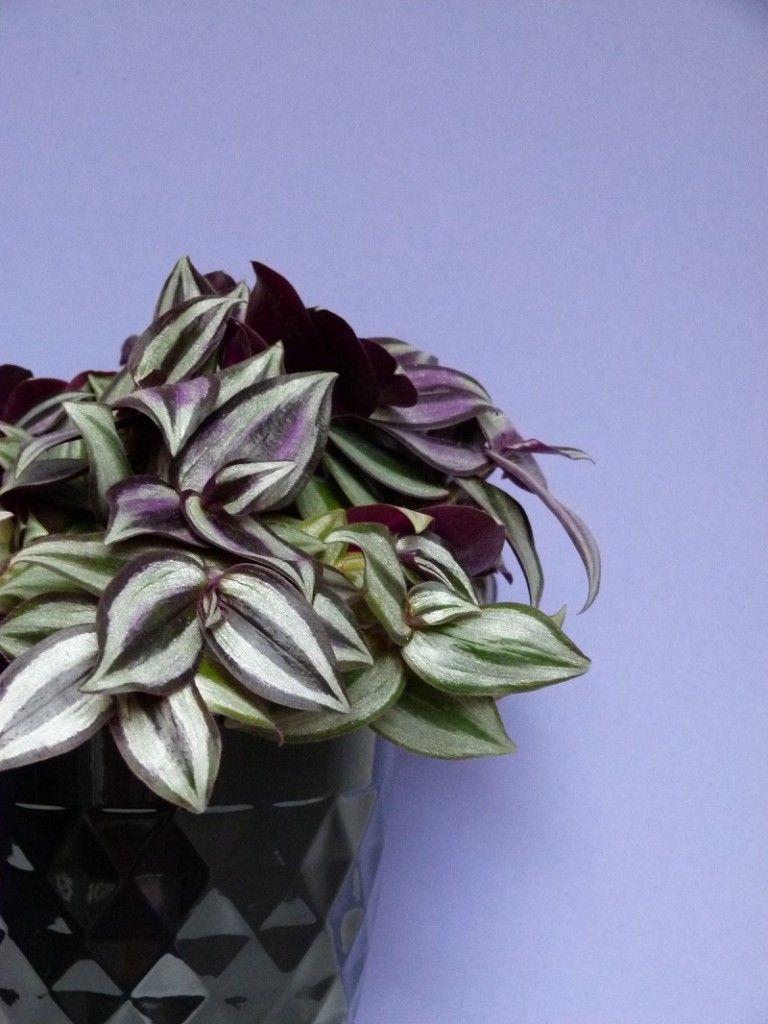 zebrakraut die h bschen bl tter dieser aus mexiko stammenden pflanze gl nzen silber und violett. Black Bedroom Furniture Sets. Home Design Ideas