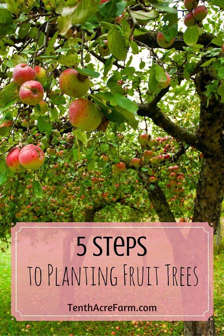 5 Steps To Planting Fruit Trees Planting Fruit Trees Fruit Plants Growing Fruit