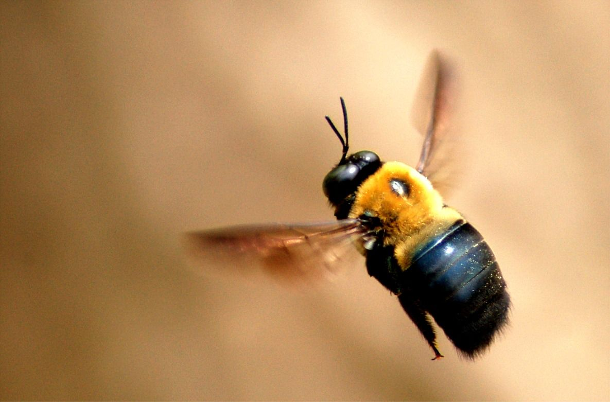 How To Get Rid Of Carpenter Bees Carpenter Bee Bee Removal Bee