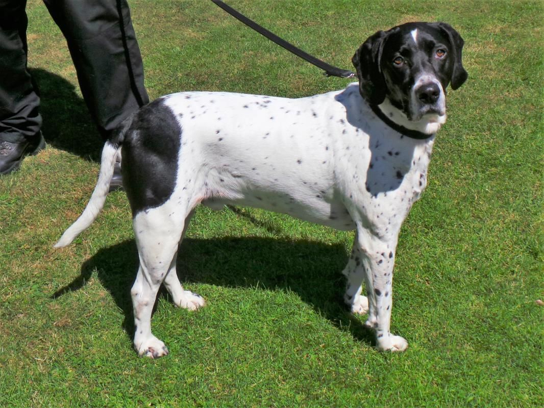 Adopt A Dog Tully Pointer English Dogs Trust English Dogs Dogs Dog Adoption