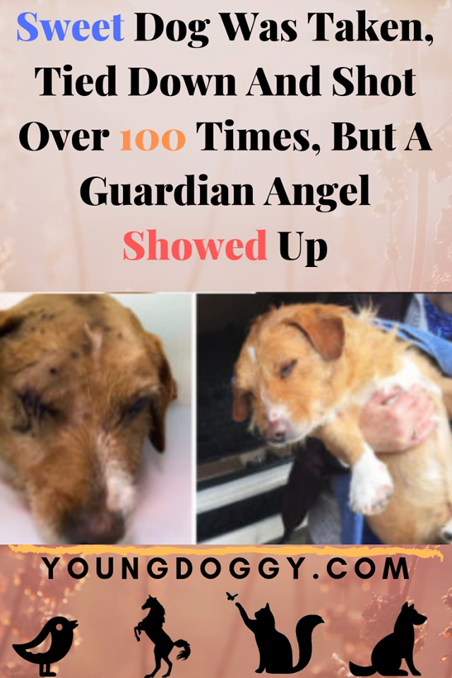 Sweet Dog Was Taken Tied Down And Shot Over 100 Times But A Guardian Angel Showed Up Sweet Dogs Dogs Pet Clinic