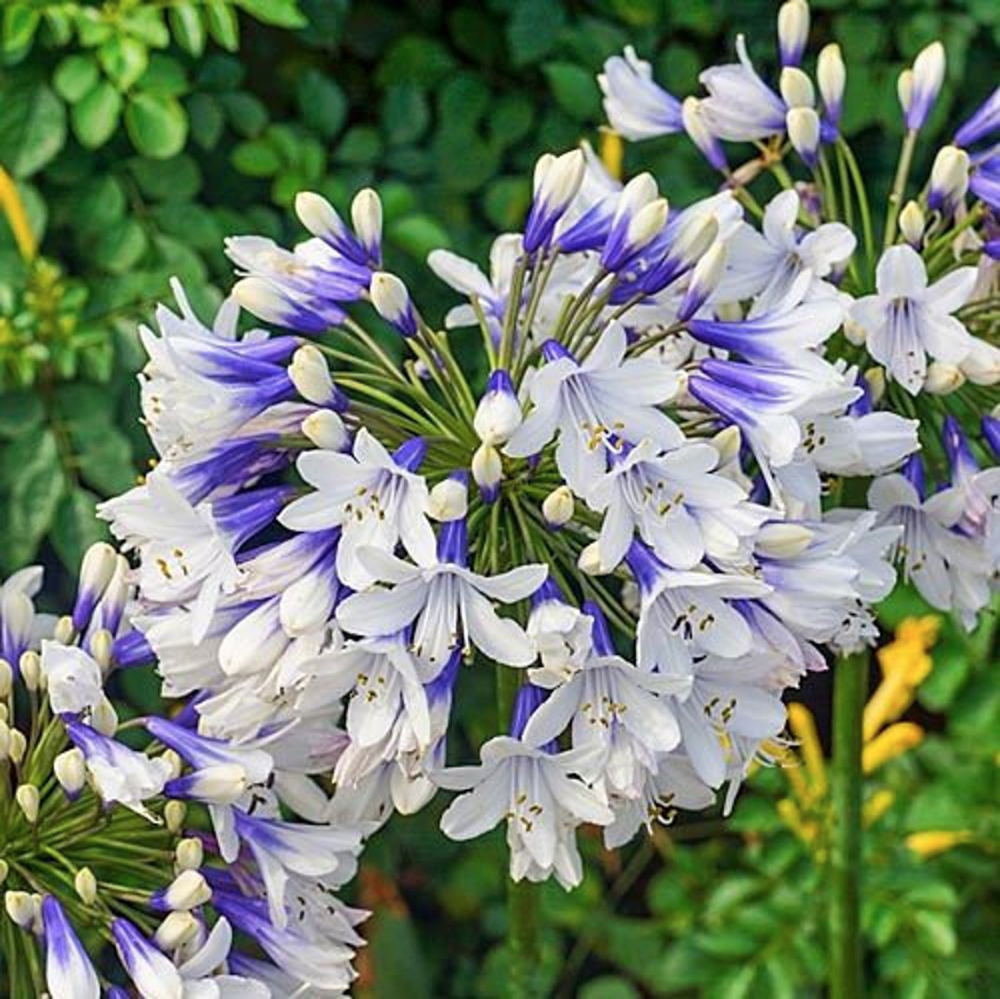 3 Twister Agapanthus Lily Of The Nile Tuber Bulb Blue And Etsy In 2020 Agapanthus Agapanthus Blue Flower Landscape