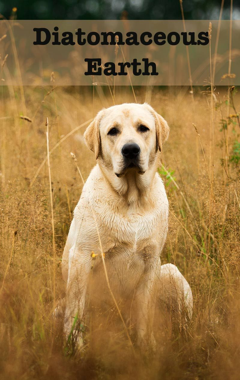 Diatomaceous Earth For Dogs Diatomaceous Earth For Dogs Worms In Dogs Diatomaceous Earth
