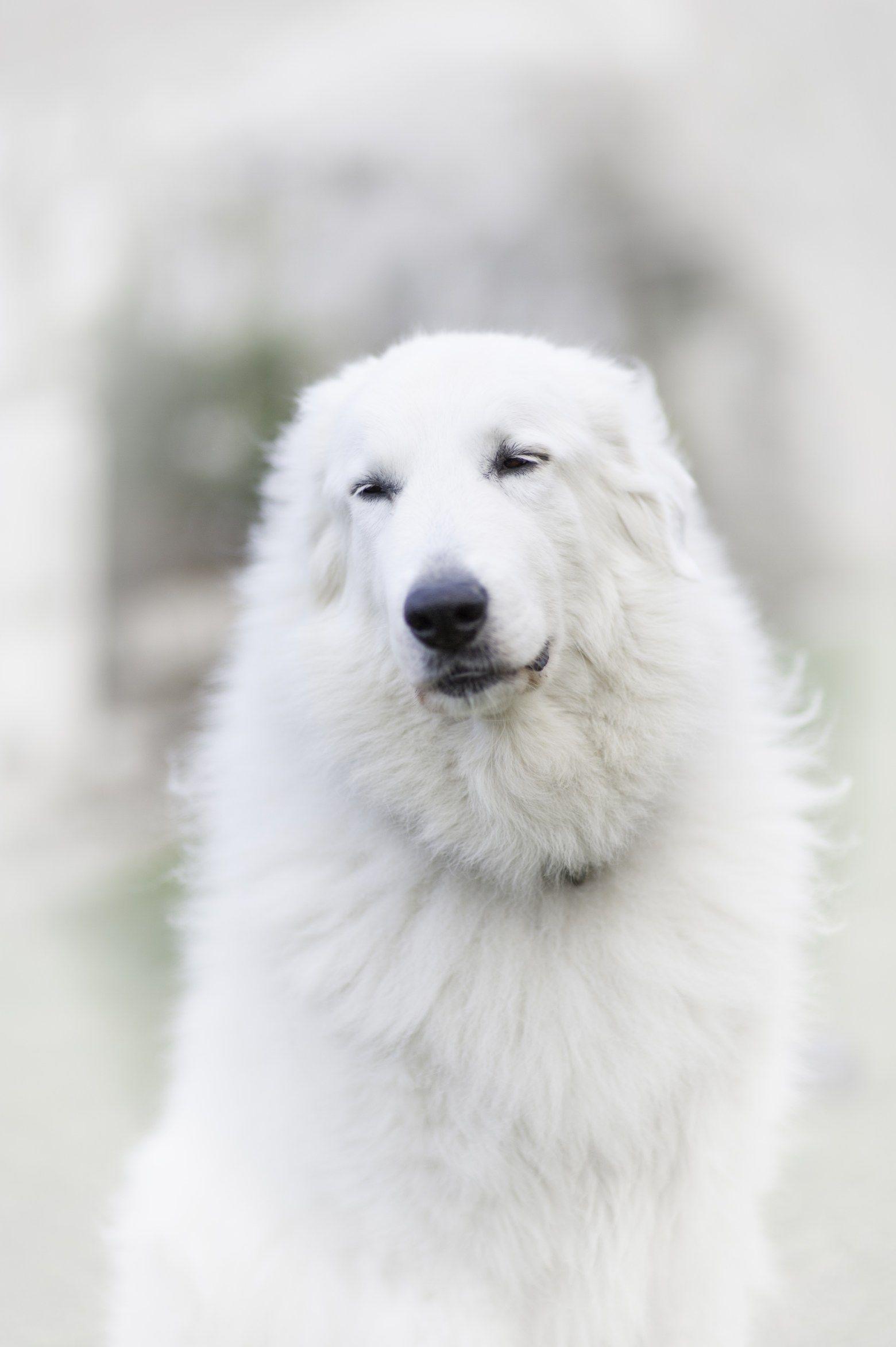 Spotlight On Blanche Aka The Princess Great Pyrenees Top Dog