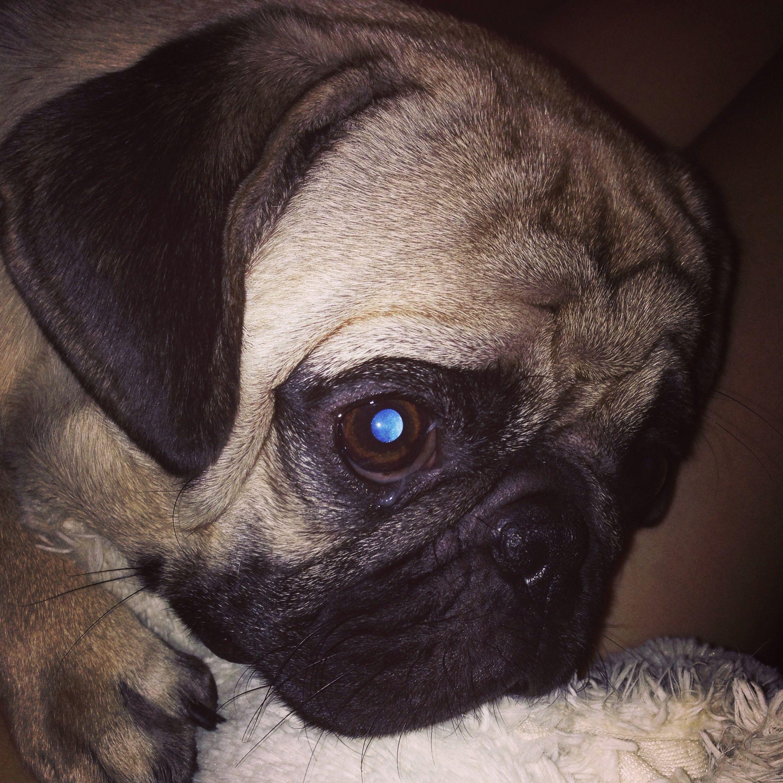 Blue Eyes Pugs Rock The World Dogs Best Dogs Pugs