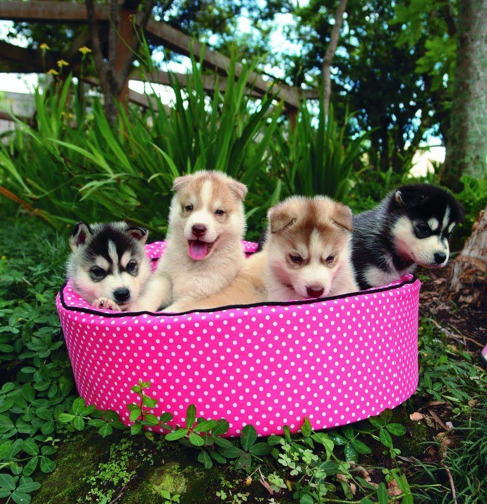 Siberian Husky Puppy Wallpapers Siberian Husky Puppies Fluffy Puppies Husky Puppy