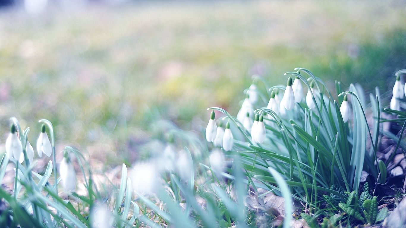 Download Wallpaper 1366x768 Spring Snowdrops Grass Light March Laptop 1366x768 Hd Background Spring Wallpaper Hd Spring Wallpaper Nature Wallpaper
