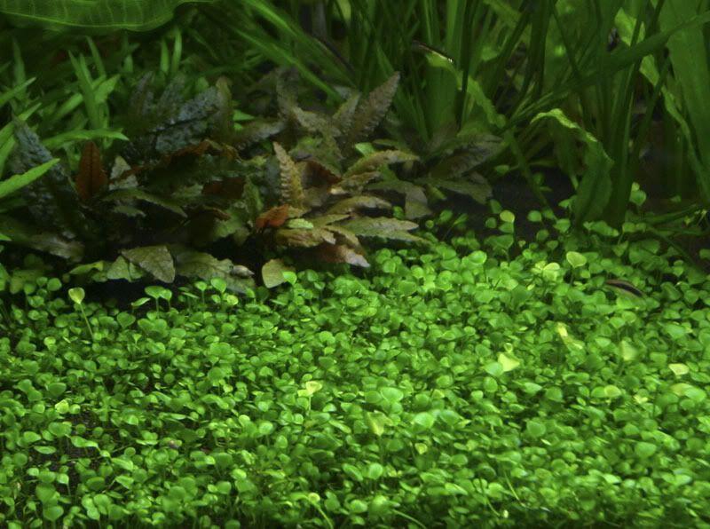 Anagnwrish Fytwn Apo Thn Tropica Greek Aquarist S Boards Foroym Syzhthsewn Gia To Xompy Toy Enydreioy Plants Planted Aquarium All Plants