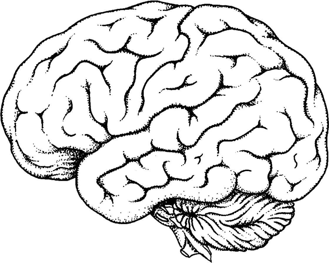 Brain Clipart Transparent Png Human Brain Colouring Pages 1148x911 Brain Drawing Coloring Books Brain Diagram