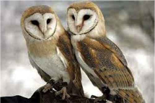 Barn owls flew in pairs