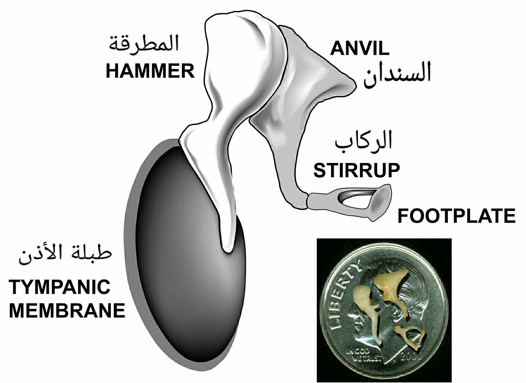 ع ظام الأ ذن الوسطى المطرقة Hammer السندان Anvil الر كاب Stirrup Spoon Rest Membrane Stirrups
