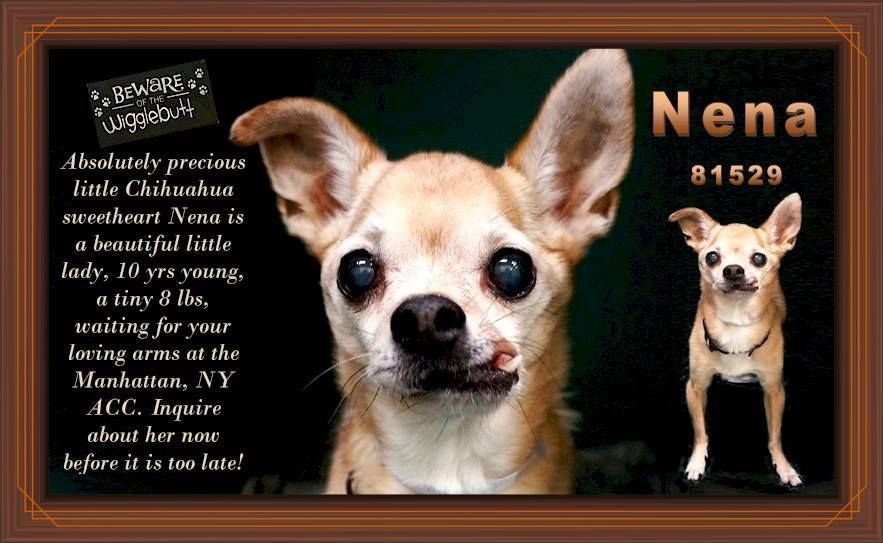 Adopter Needed Asap Absolutely Precious Little Chihuahua Sweetheart Nena Is A Beautiful Little Lady 10 Yrs Young Chihuahua Small Dog Breeds Foster To Adopt
