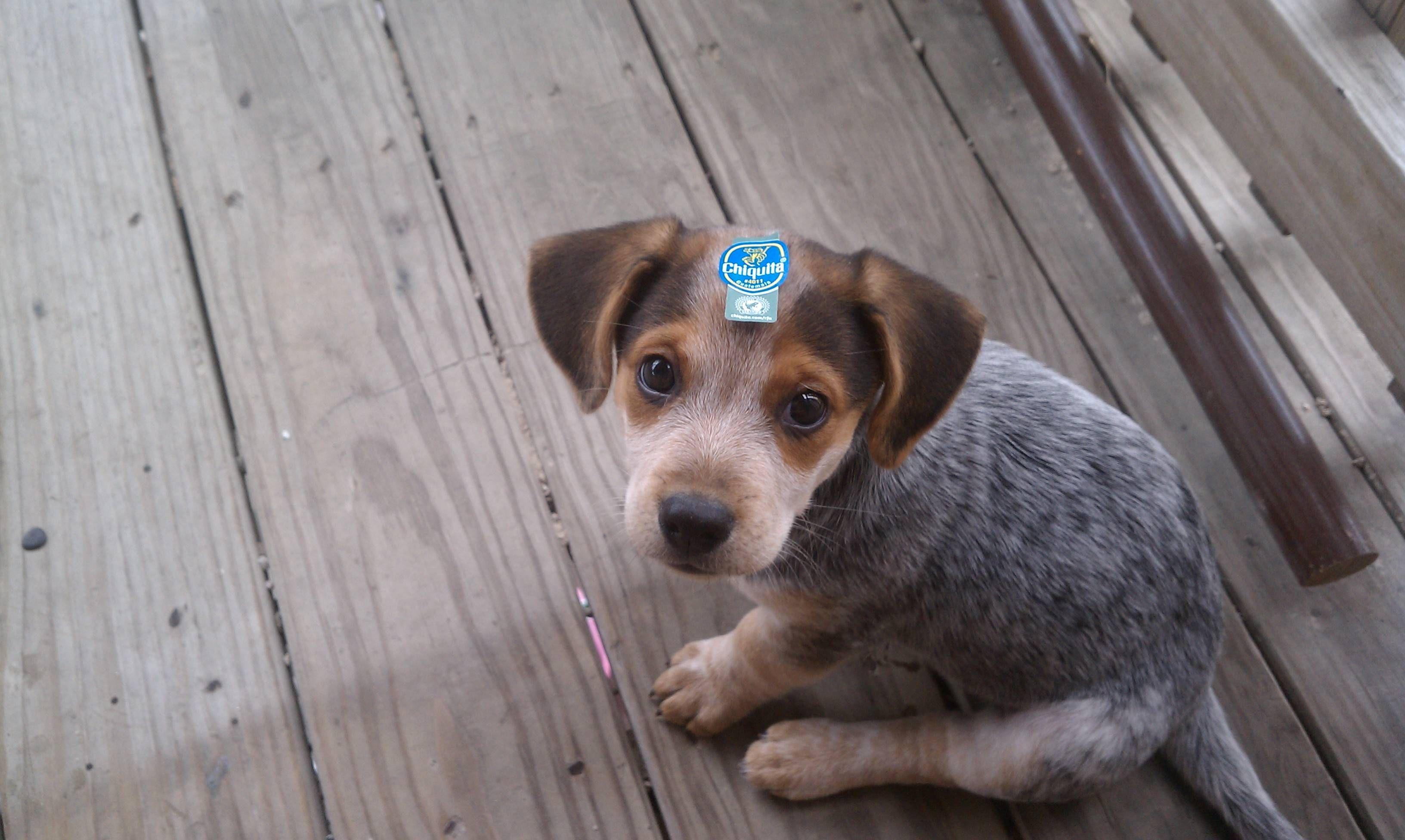 Heeler Beagle Mix I Ve Had A Heeler I Ve Had A Beagle Both