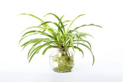 Spider Plant Water Cultivation Can You Grow Spider Plants
