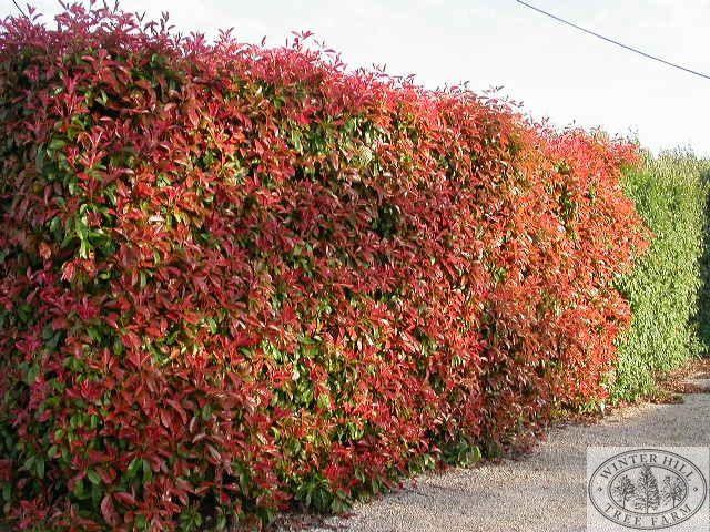 winter hill tree farm photinia red robin photinia red robin farm trees pinterest. Black Bedroom Furniture Sets. Home Design Ideas