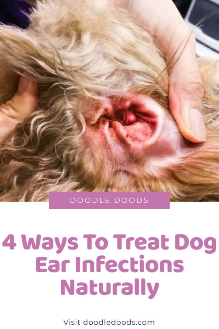 Dog Ear Infection In Dogs How To Treat Ear Infections Naturally Doodle Doods Dogs Ears Infection Dog Ear Infection Treatment Dog Ear Infection Remedy