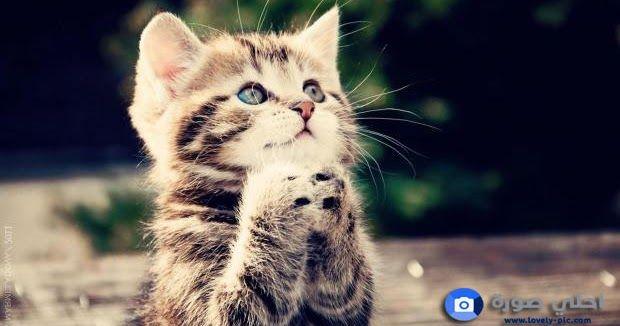 صور قطط جميلة 2019 خلفيات قطط كيوت القطط هي من أجمل صور قطط جميلةوأشهر الحيوانات الاليفة التي يحبها ويربيها الكثير من ال Kitten Wallpaper Kittens Cutest Cats