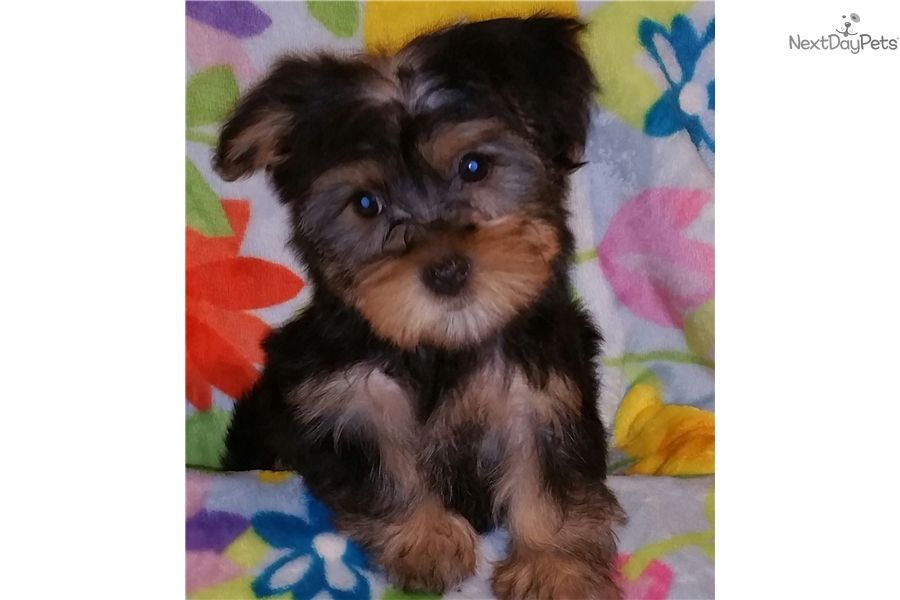 I am a cute Yorkshire Terrier Yorkie puppy, looking for