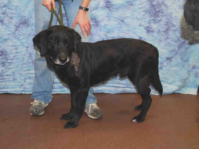 Labrador Retriever Dog For Adoption In Louisville Ky Adn 464643