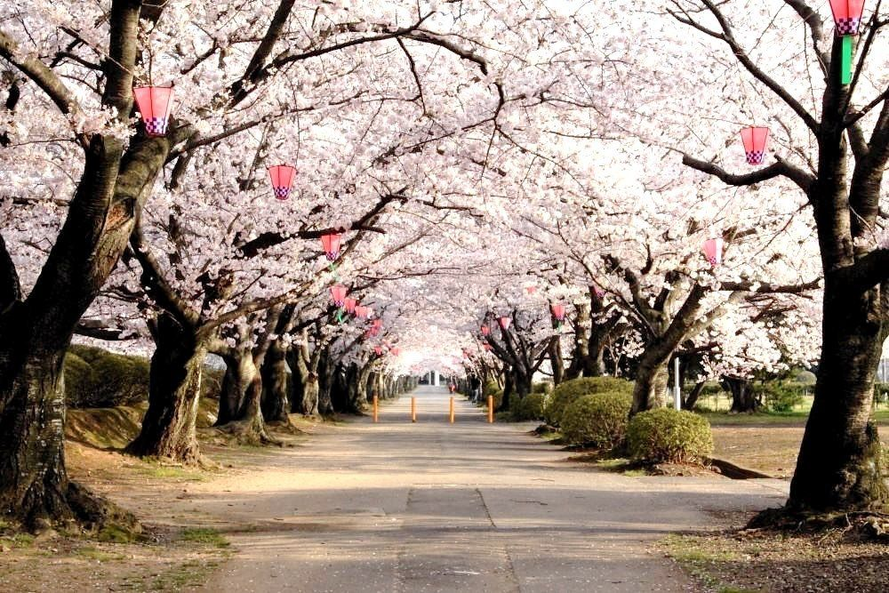 Everything You Need To Know About Cherry Blossom Season In Japan The Blessing Bucket Cherry Blossom Cherry Blossom Japan Osaka