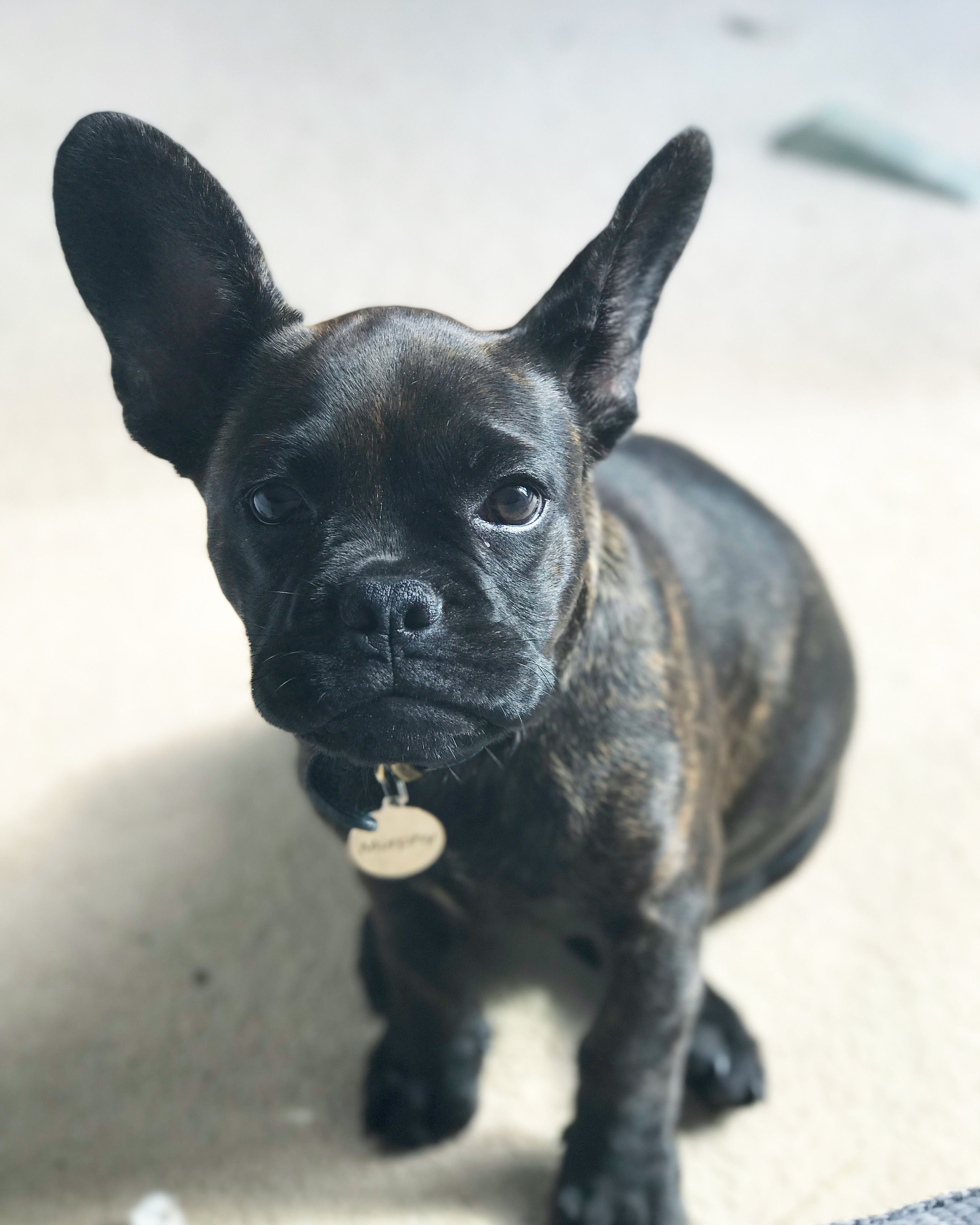 Murphy The Frenchton A French Bulldog And Boston Terrier Mix Cute French Bulldog French Bulldog Mans Best Friend