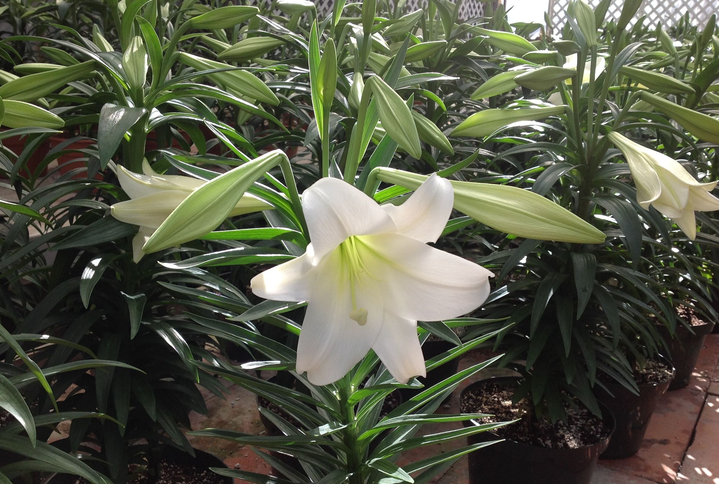 White Lily Plants Spring Easter Lily Lily Plant White Plants