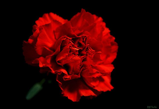 The National Flower Of Spain Is The Red Carnation Red Carnation Rose Time Tattoos