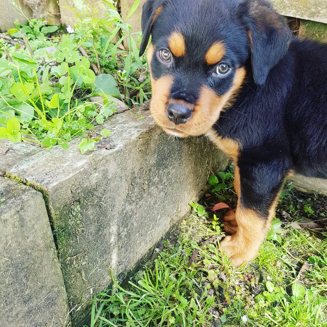 What Do You Mean This Isn T Food Rottweiler Rottie