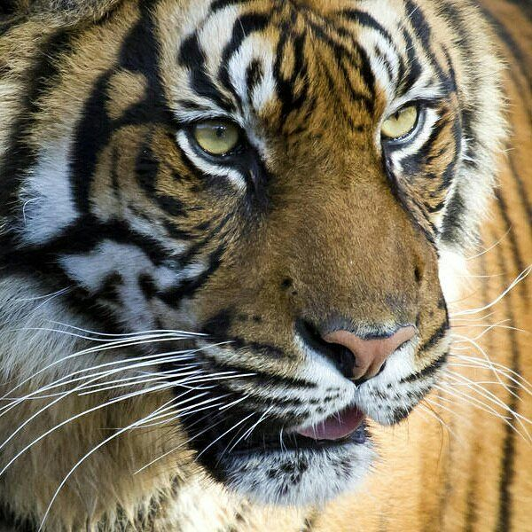 One of the worlds largest #tiger populations is found in the Sundarbansa large mangrove #forest area shared by #India and #Bangladesh on the northern coast of the Indian #Ocean. This area harbors Bengal tigers and protects coastal regions from storm surges and wind damage. However rising sea levels caused by #climatechange threaten to wipe out these forests and the last remaining habitat of this tiger population. | via @WWF wwf.to/1zqSO0I #ClimateFacts