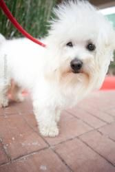 Matisse Is An Adoptable Poodle Dog In Houston Tx Matisse Is An