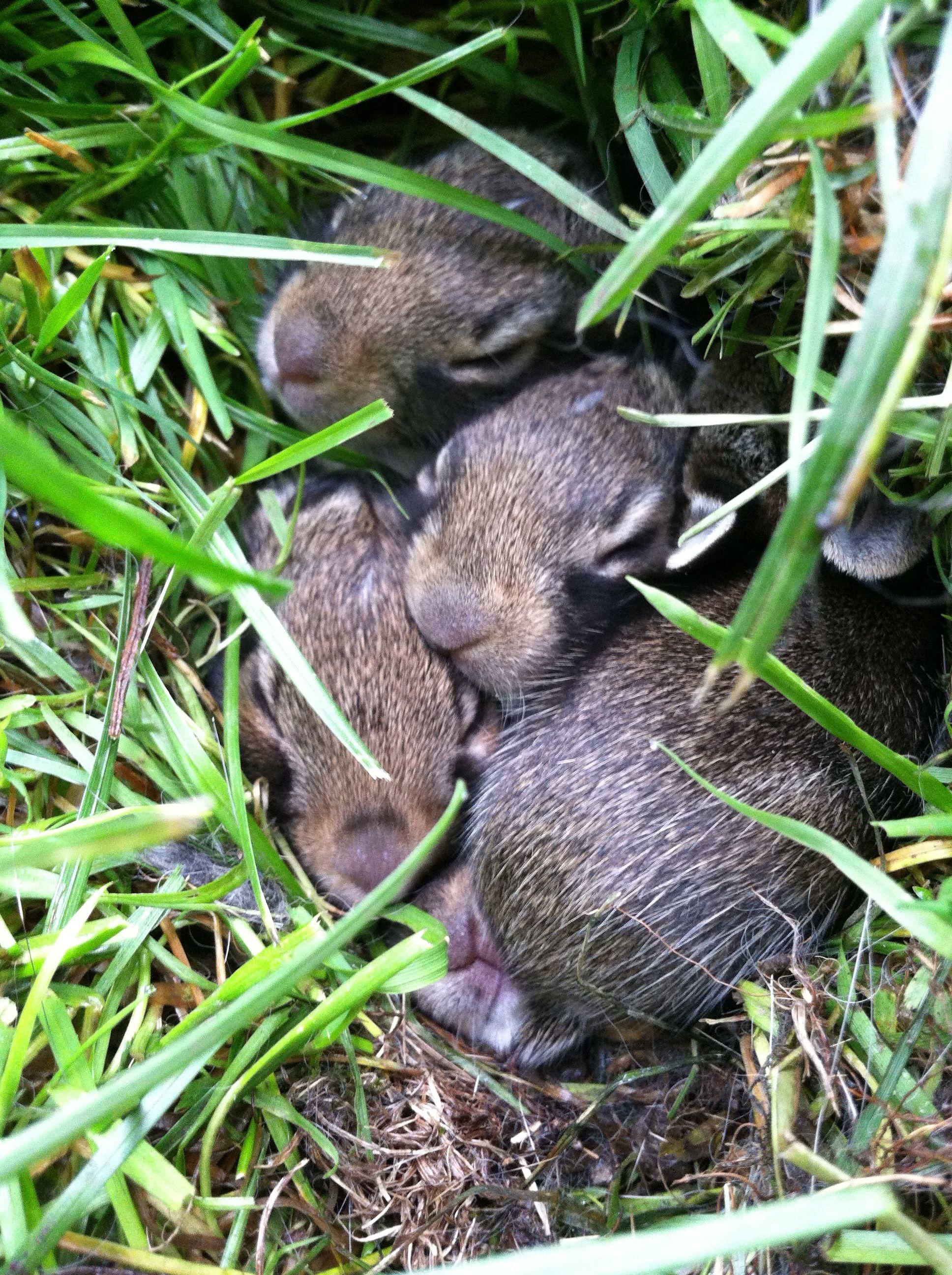 Baby bunnies born in my sisters backyard baby bunnies