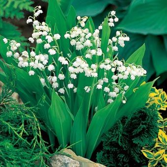 Convallaria Majalis Bordeaux Lily Of The Valley Lily Of The Valley Shade Perennials Lily Of The Valley Flowers