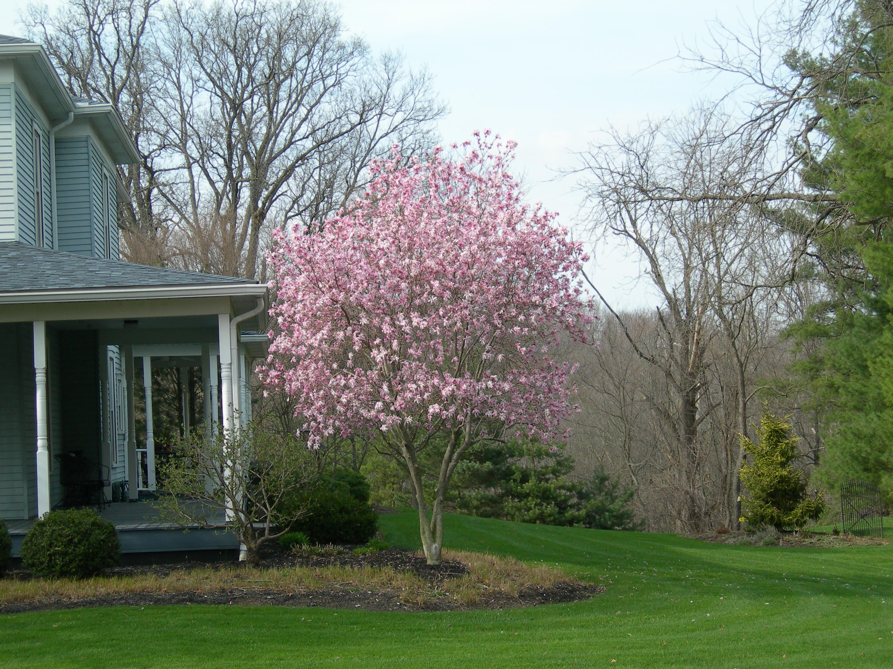 Ornamental Trees Magnolia Jane Powell Ohio Trees For Front Yard Ornamental Trees Front Yard Landscaping