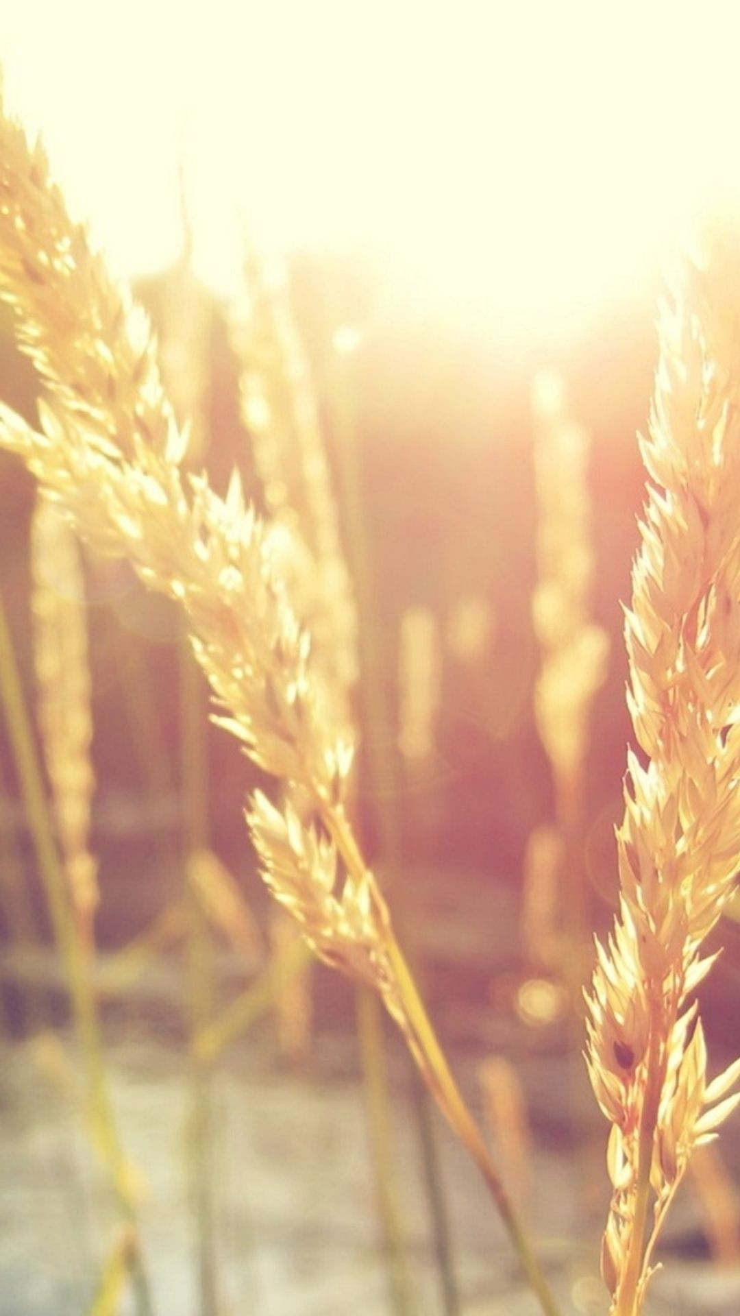 Nature Wheat Rice Sunlight Plant Iphone 6 Wallpaper Download Iphone Wallpapers Ipad Wallpaper Iphone 6 Wallpaper Cool Backgrounds For Iphone Plant Wallpaper