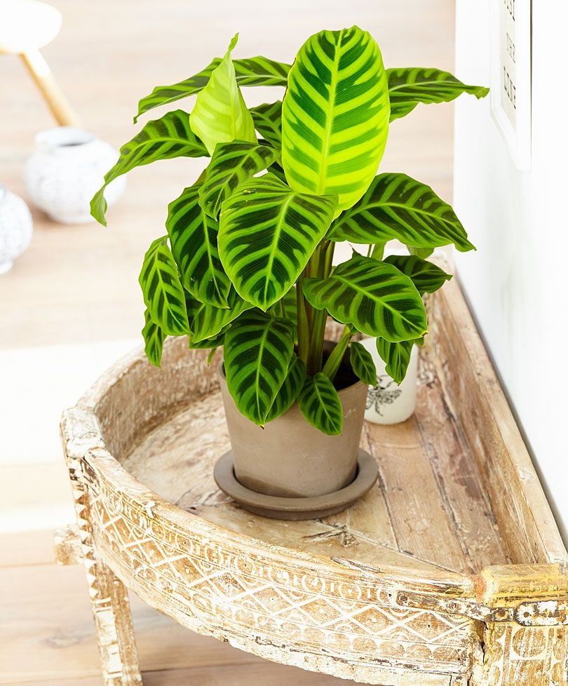 Calathea Zebrina Zebra Plant Indoor Plants Plants 400 x 300