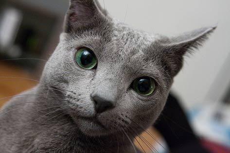 Hypoallergenic Cat Breeds Petmd Cat Breeds Russian Blue Blue Cats